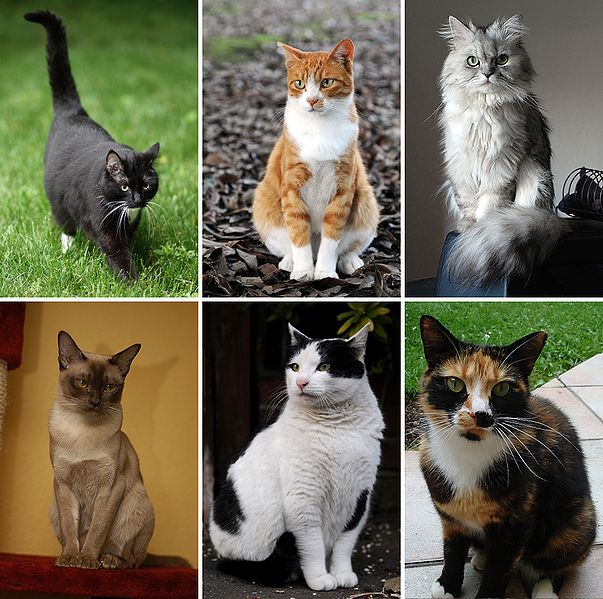 Gato (wikipedia)jpg